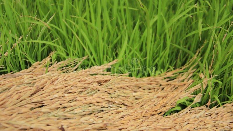 Arroz verde y seco farming fotos de archivo