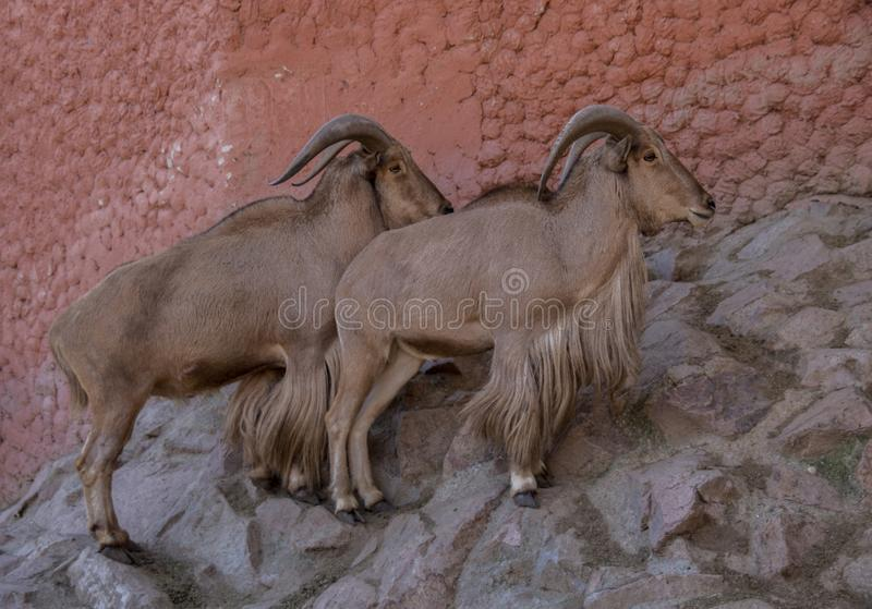 The arruí. The ruba, rumen or berberian ram Ammotragus lervia is a bovid of the subfamily Caprinae native to the rocky areas of the Sahara and the Maghreb, of royalty free stock image