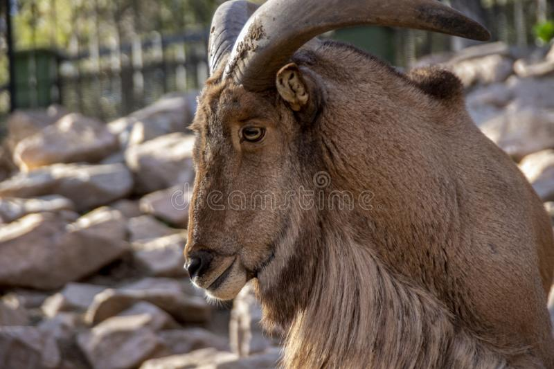 The arruí. The ruba, rumen or berberian ram Ammotragus lervia is a bovid of the subfamily Caprinae native to the rocky areas of the Sahara and the Maghreb, of stock photo
