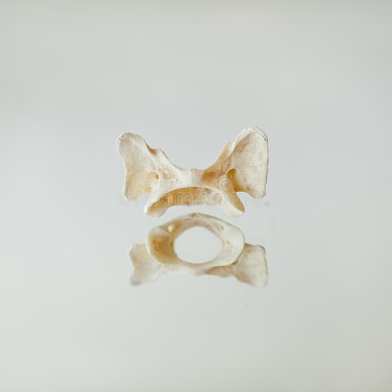 Ars Moriendi - Surreal Floating Bone Small Pelvis. A surreal image of a small animal bone, possibly a pelvis. The bone sits on a mirror and creates an effect of royalty free stock photography