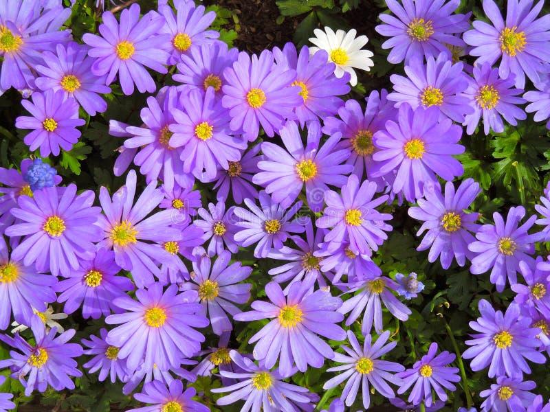 Arsenal de margaritas púrpuras y de una flor blanca fotografía de archivo libre de regalías