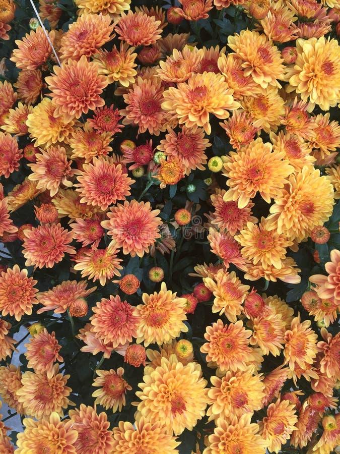 Arsenal hermoso de flores anaranjadas y amarillas fotografía de archivo libre de regalías