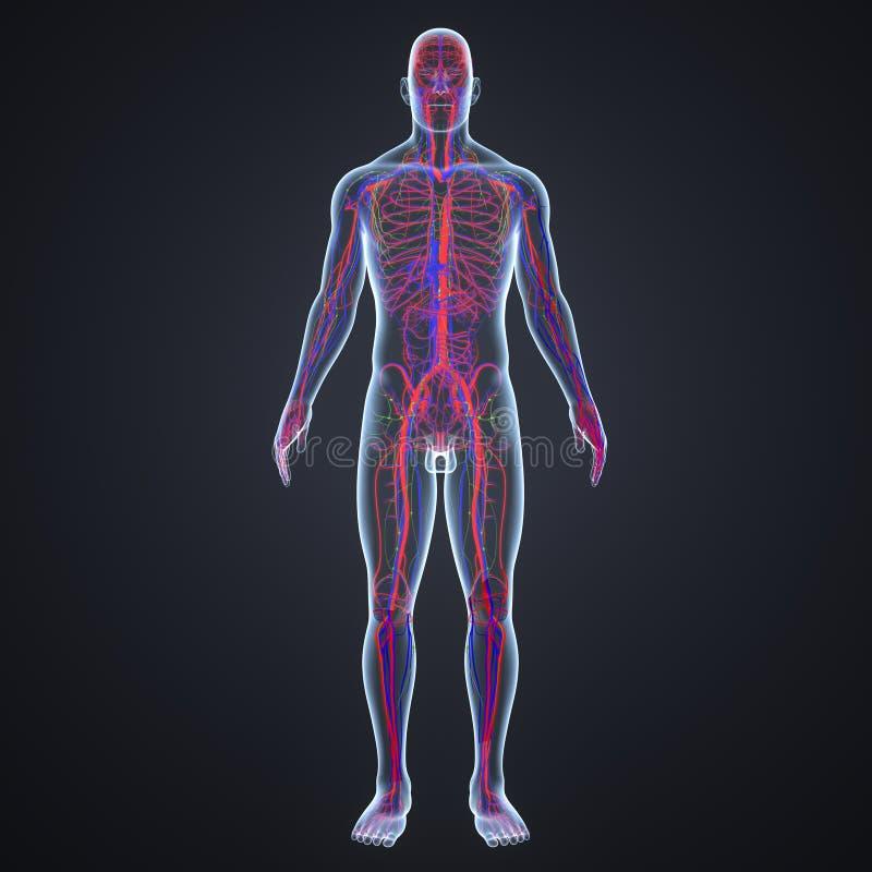 Artär-, åder- och lymfaknutpunkter i föregående sikt för människokropp vektor illustrationer