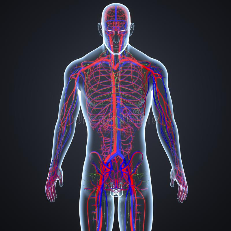 Artär-, åder- och lymfaknutpunkter i föregående sikt för människokropp royaltyfri illustrationer