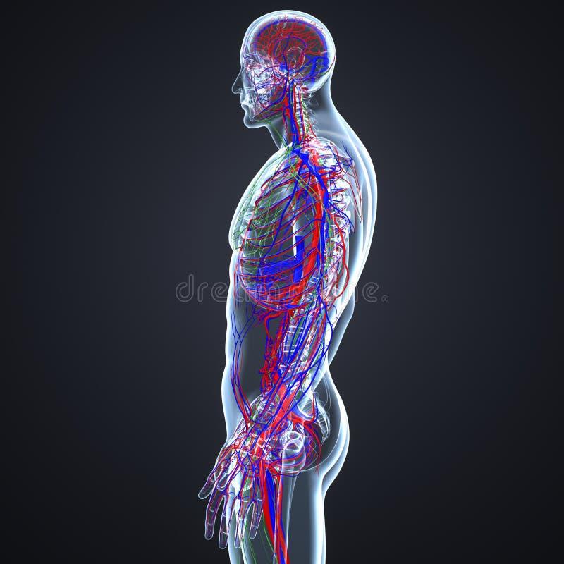 Artär-, åder- och lymfaknutpunkter med den skelett- kroppen vektor illustrationer