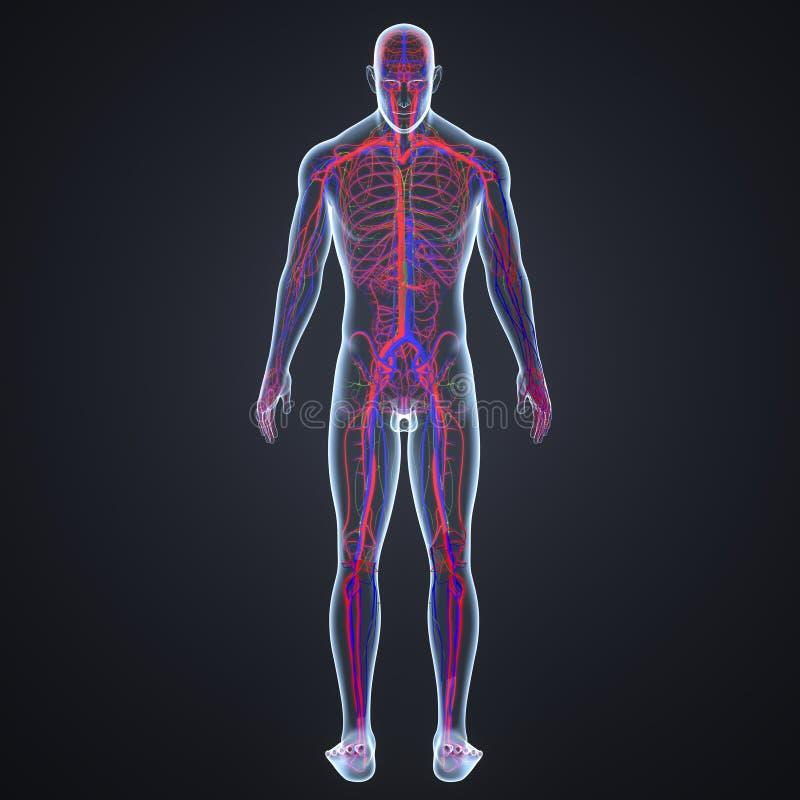 Artär-, åder- och lymfaknutpunkter med senare sikt för människokropp royaltyfri illustrationer
