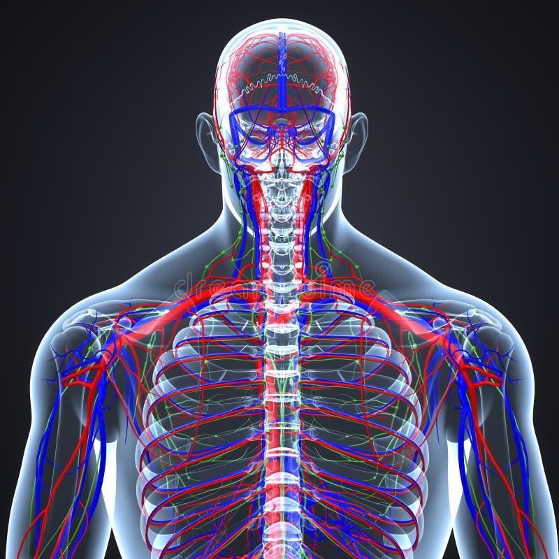 Artär-, åder- och lymfaknutpunkter med senare sikt för mänsklig skelett- kropp stock illustrationer