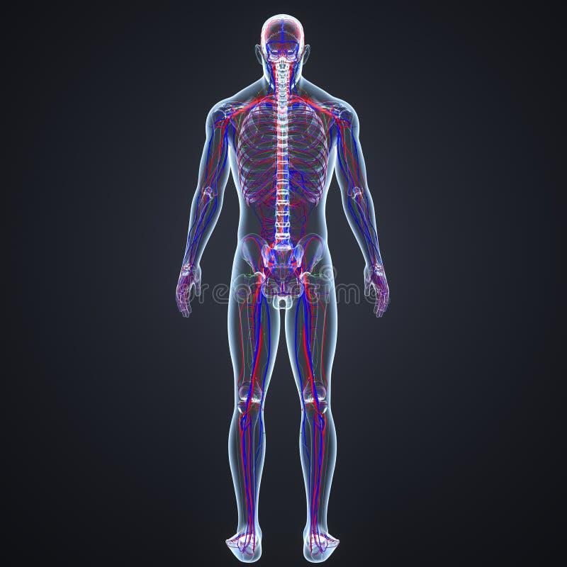 Artär-, åder- och lymfaknutpunkter med senare sikt för skelett- kropp royaltyfri illustrationer