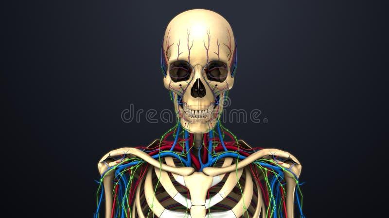 Artär-, åder- och lymfaknutpunkter med skelett- föregående sikt stock illustrationer