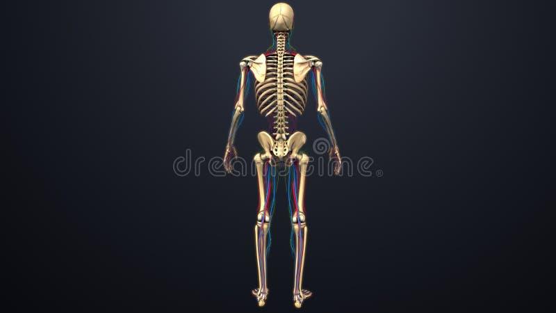 Artär-, åder- och lymfaknutpunkter med skelett- senare sikt royaltyfri illustrationer
