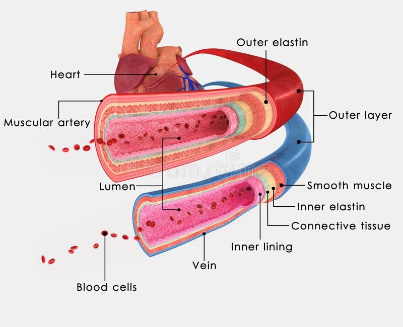 Artärer och åder stock illustrationer