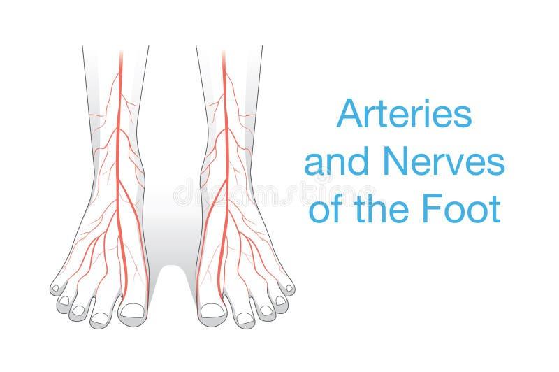 Artärer och nerver av foten vektor illustrationer