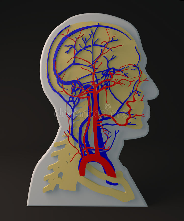 Artère faciale et veines appareil circulatoire, chef de section illustration stock