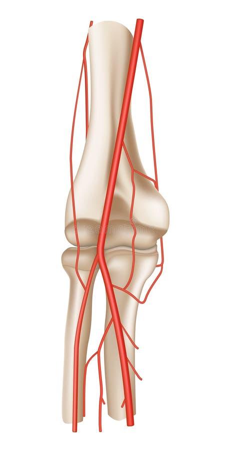 Artéria ilustração stock