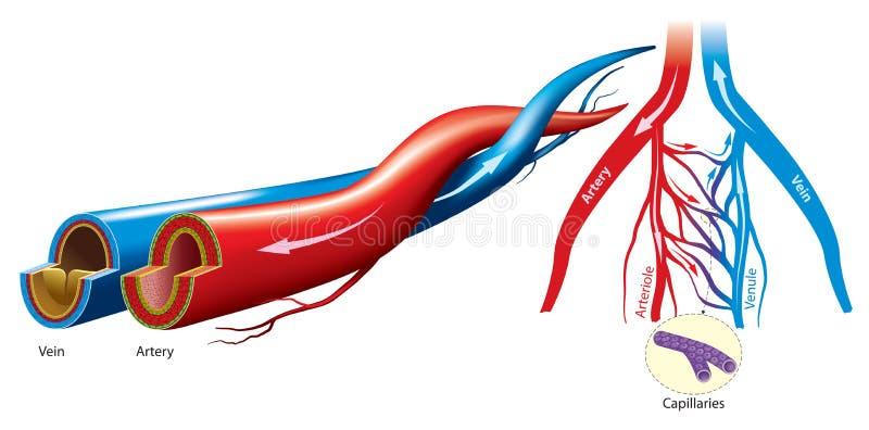 Artéria e veia