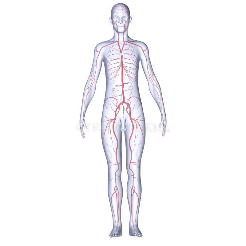 Artérias com corpo ilustração stock