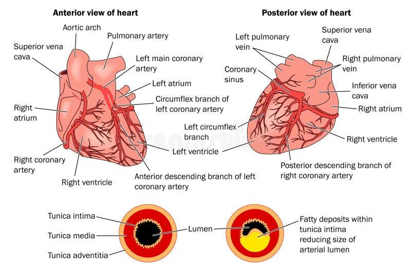 Artérias coronárias e formação da chapa ilustração royalty free