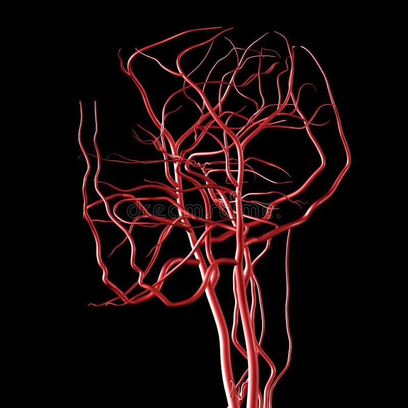 Artérias da cabeça e do cérebro ilustração stock