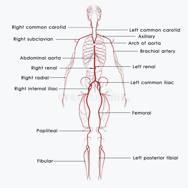 Artérias etiquetadas ilustração do vetor
