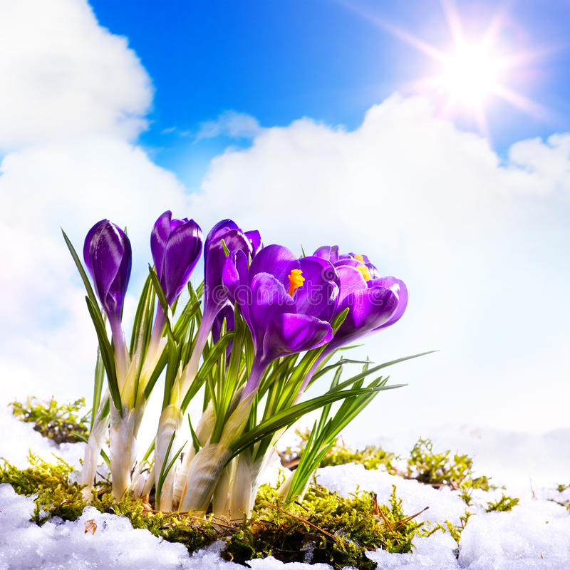 Art Beautiful Spring Flowers. And snow stock image