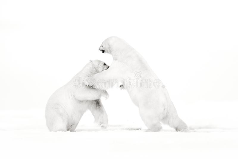 Art, black and white photo of two polar bears fighting on drift ice in Arctic Svalbard. Animal fight in white snow. White wildlife stock images
