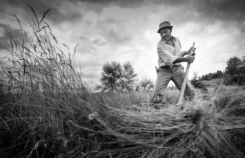 The art of cutting hay by hand stock photo