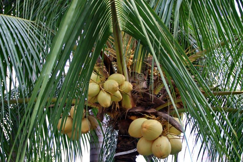 Art der Elfenbeinkokosnu? auf einem Baum stockfotos