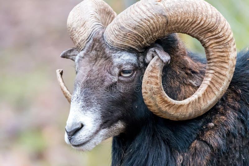 Art du portrait de Mouflon, animal à cornes dans l'habitat de nature, por photographie stock libre de droits