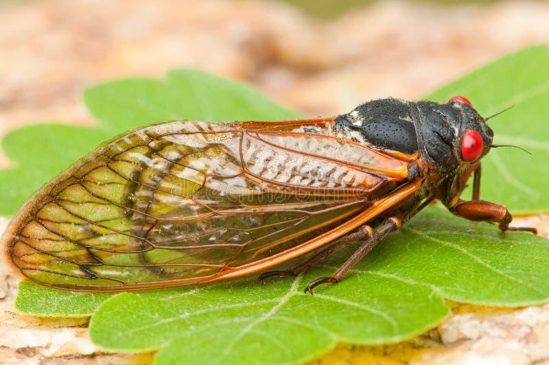 art för cikadamagicicadaperiodical royaltyfri bild