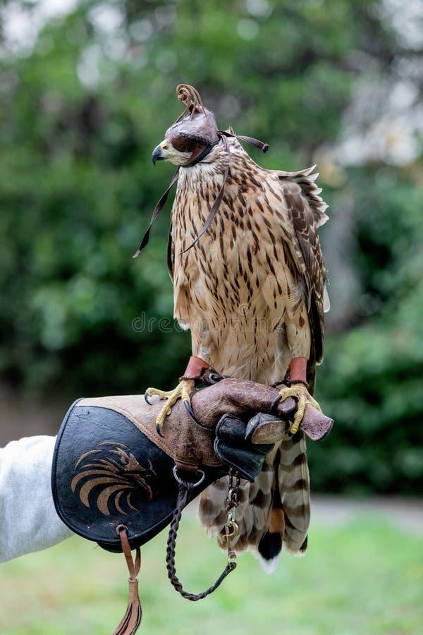 The art of falconry. Azor on the falconer`s glove stock image
