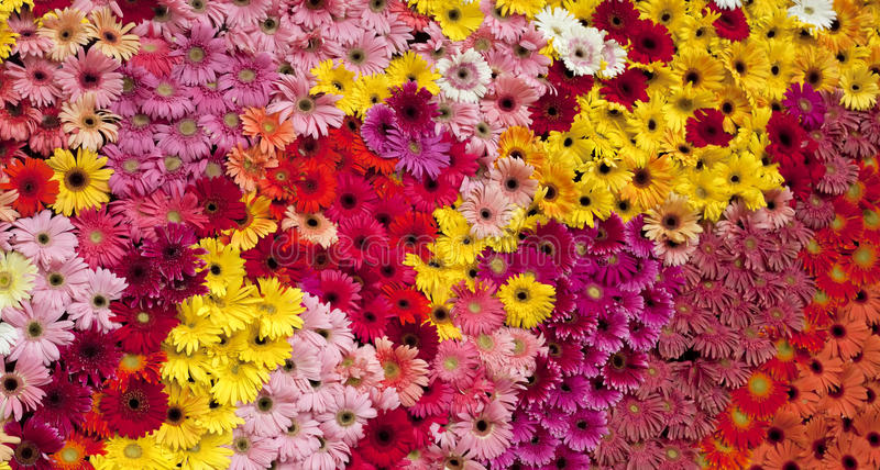 Download The art of the Gerbera stock photo. Image of beautiful - 20726486