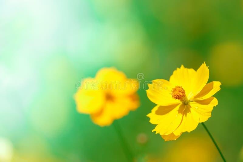 Art jaune de nature de détail de plan rapproché de fleur de cosmos photographie stock