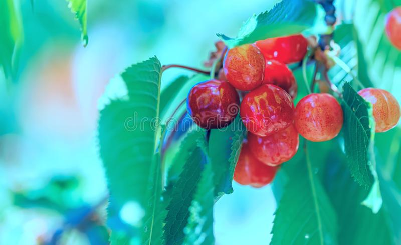 Art photography. Sweet cherry ripens on a green tree in summertime. Fruits on the branch of sweet cherry in the garden.Toned image stock photo