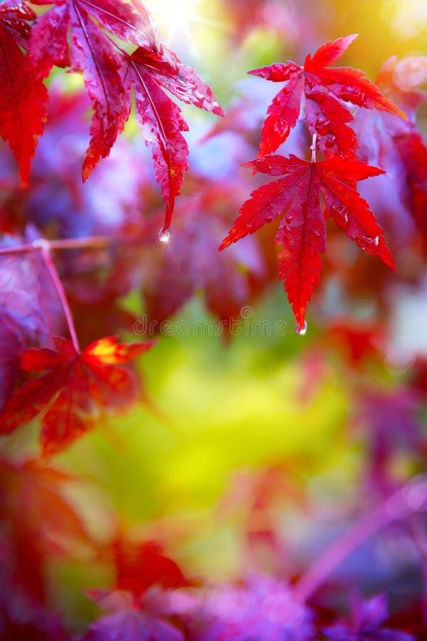 Art Rain. Feuilles d'automne rouges humides photos stock