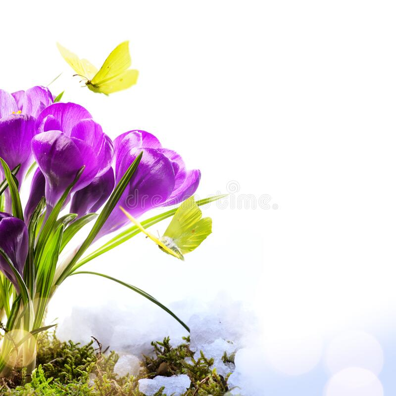Art Spring background with fresh spring flowers and fly butterfly against white background stock image