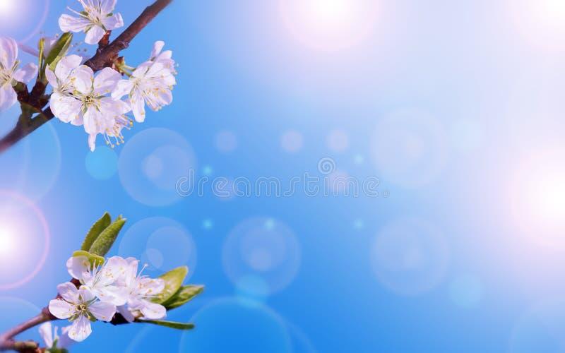 Art Spring Blooming av vårblommor för körsbärsrött träd royaltyfri foto