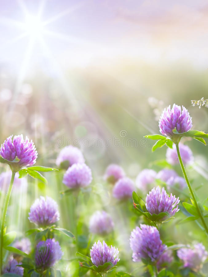 Free Art Spring Natural Background, Wild Clover Flowers Royalty Free Stock Photo - 29902445