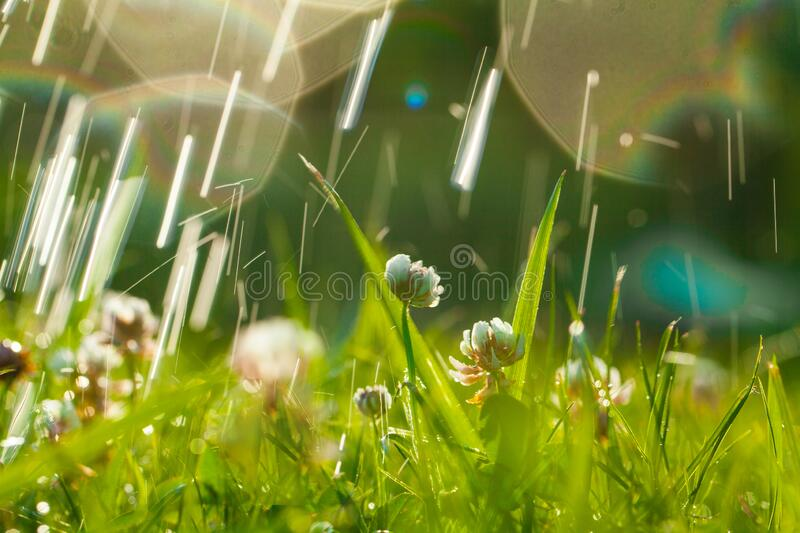 Art Spring Natural Green Background, Clover Flowers and rain drops.  royalty free stock photo
