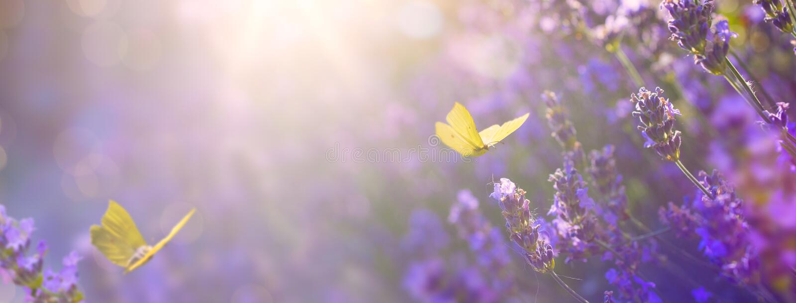 Art Summer floral landscape; beautiful summer lavender flower and fly butterfly against evening sunny sky; nature landscape stock images