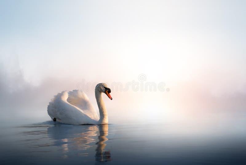 Art Swan flottant sur l'eau au lever de soleil du jour photos stock