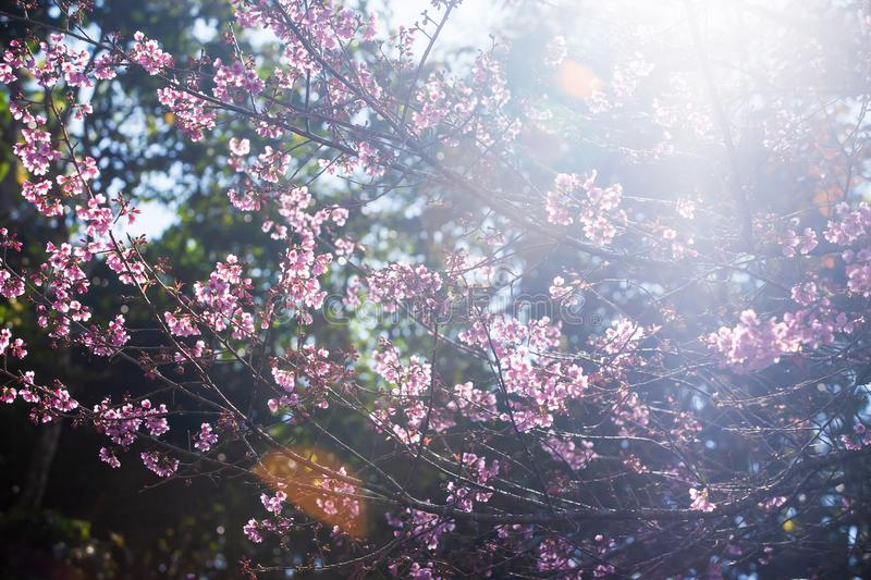 Art transparent, blooming sakura cherry in the branches of trees, pink flowers in full bloom. Spring blossom. Bright sunbeam with stock photography