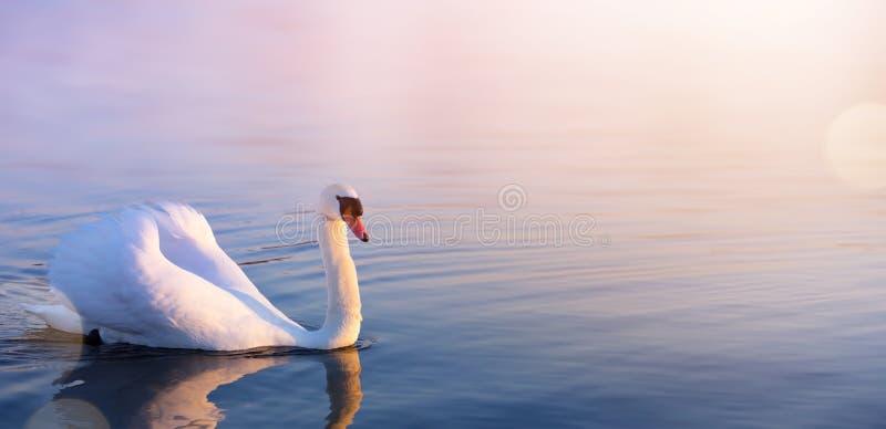 art white Swan in the spring lake stock photo