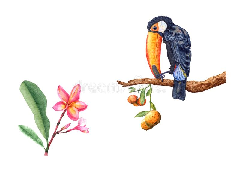 Art work of colorful toucan on orange tree branch, frangipani flowers, watercolor drawing. vector illustration