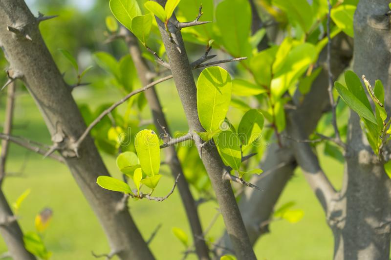 Artabotrys spinosus Craib tree in nature stock images