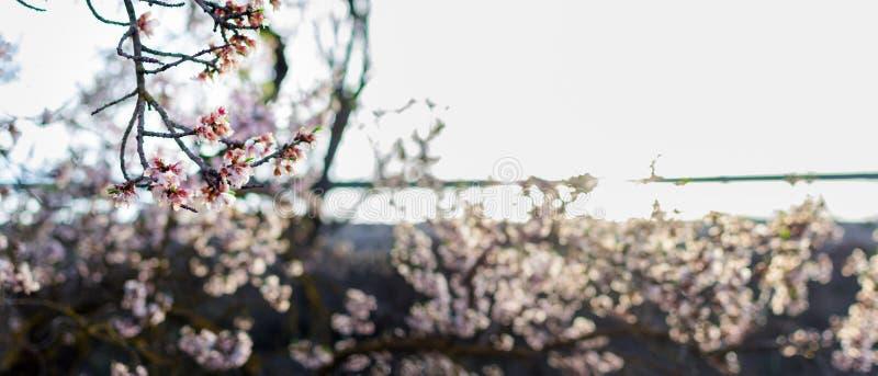 Arte de la frontera o del fondo de la primavera con el flor rosado fotografía de archivo libre de regalías