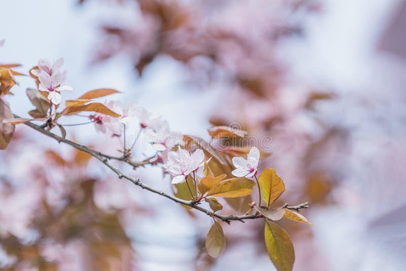 Arte del fondo della primavera con il fiore rosa del susino immagini stock libere da diritti