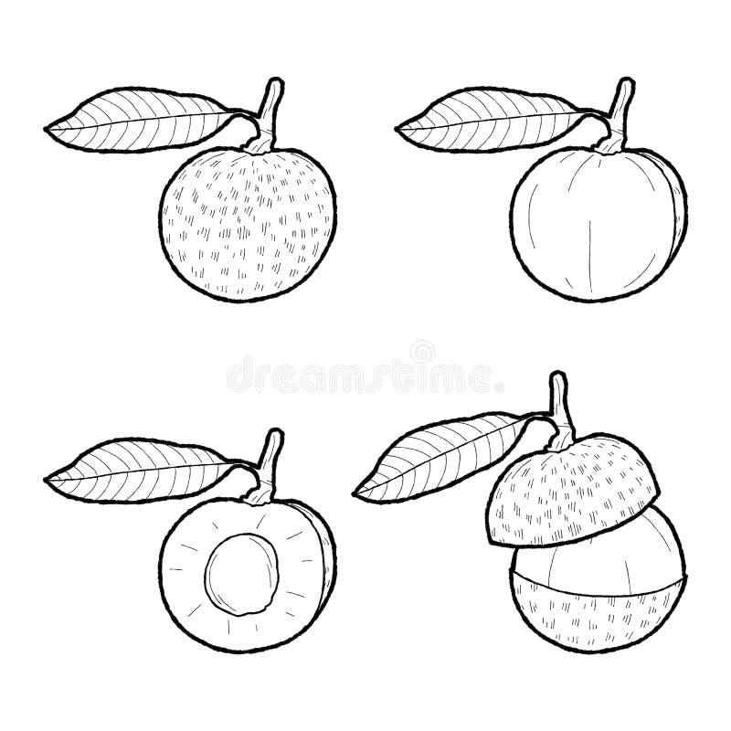 Arte exhausto de la historieta de la fruta de la mano del ejemplo del vector del Longan imagen de archivo