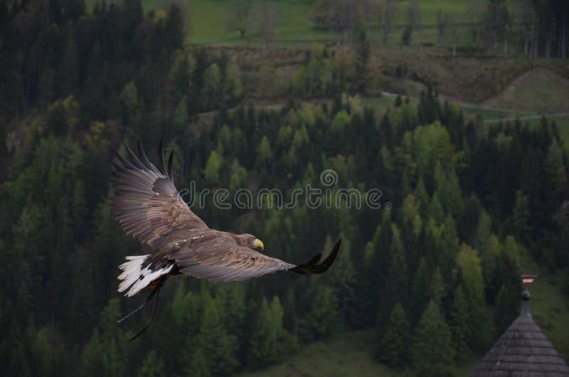 Arte finala de Brown Hawk Flying Above Green Trees fotografia de stock