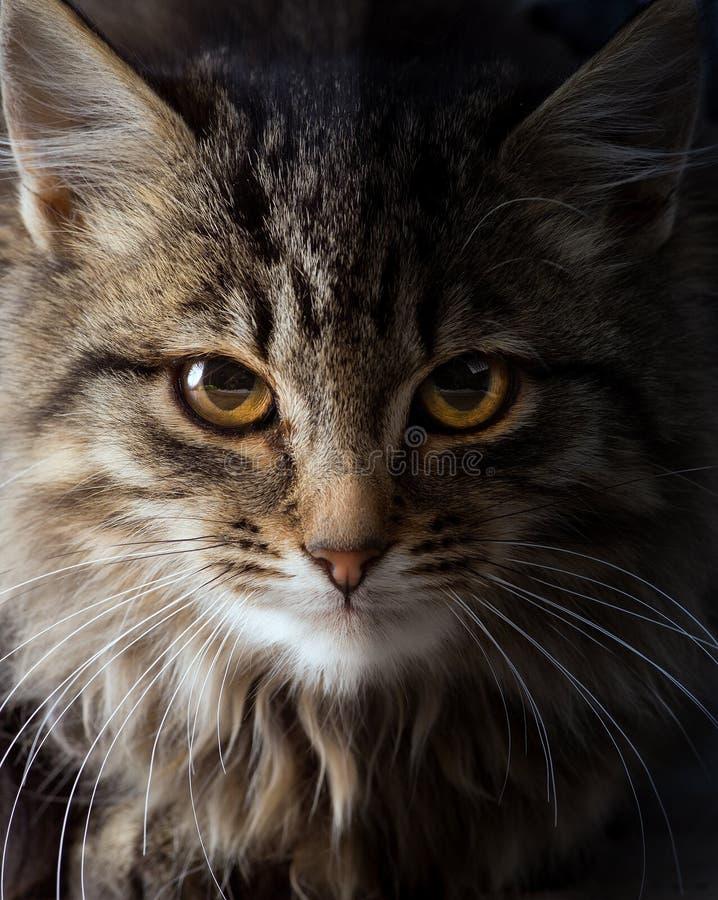 Arte la mirada de un gato salvaje; imagenes de archivo