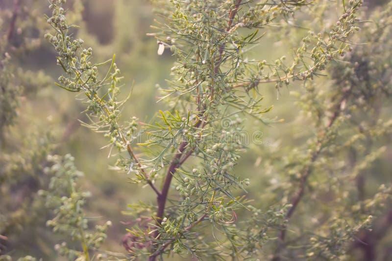 Artemisia abrotanum southernwood, chłopaczyna miłość lub południowy piołun w kwiacie, szczegółowy rysunek kwiecisty pochodzenie w obraz stock
